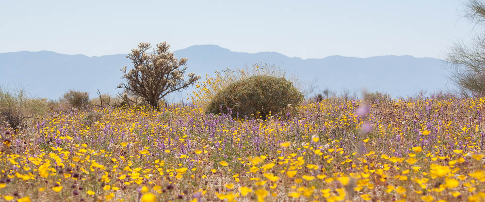 Lupines and Poppies in Cottonwood Wash