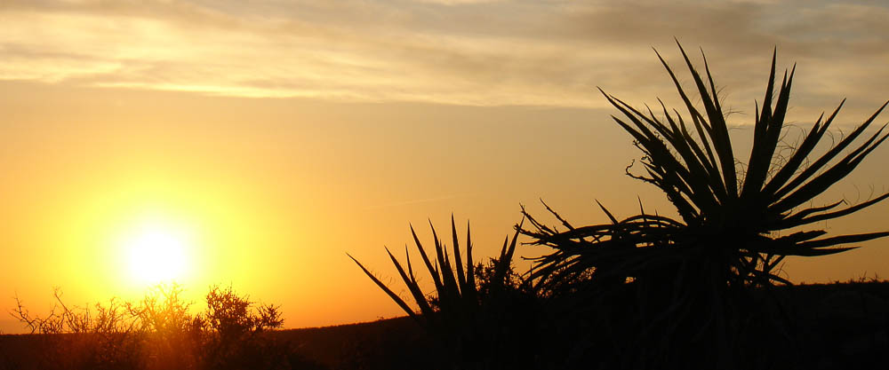 Mojave Yucca silhouette at sunrise