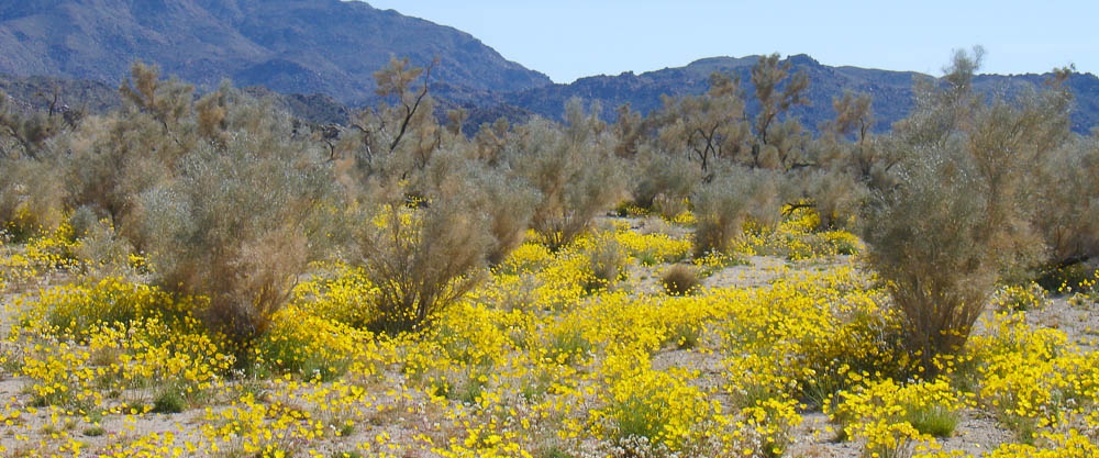 Poppies and Smoke Trees in the Sonoran desert