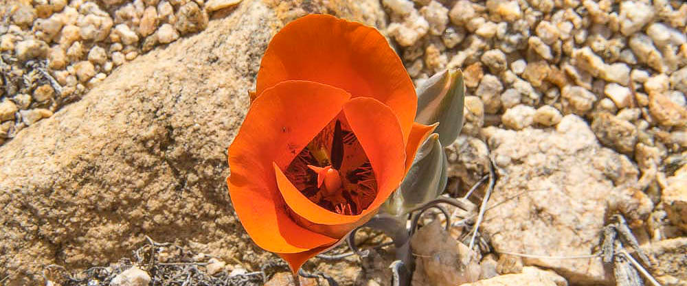 Desert Mariposa Lily in Joshua Tree National Park