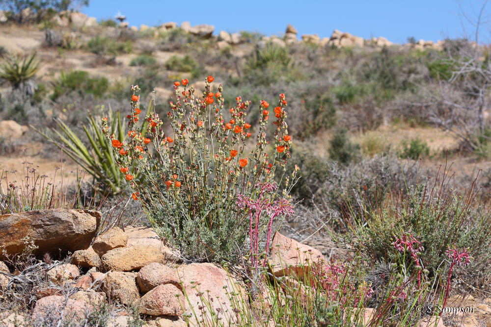 Apricot Mallow in the desert