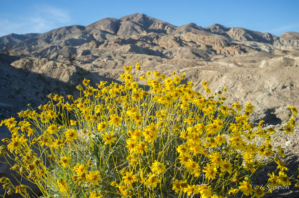 Brittlebush in the desert