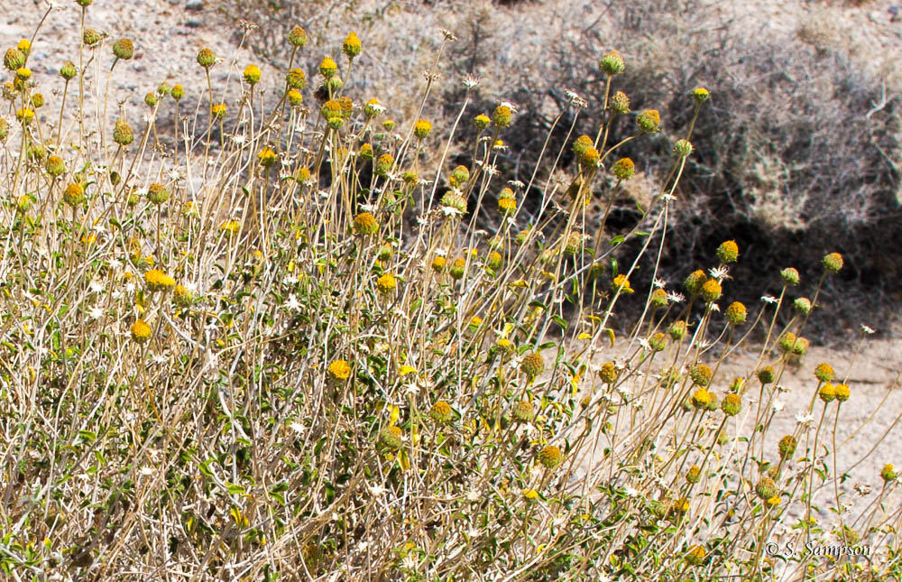 Button Brittlebush in the desert