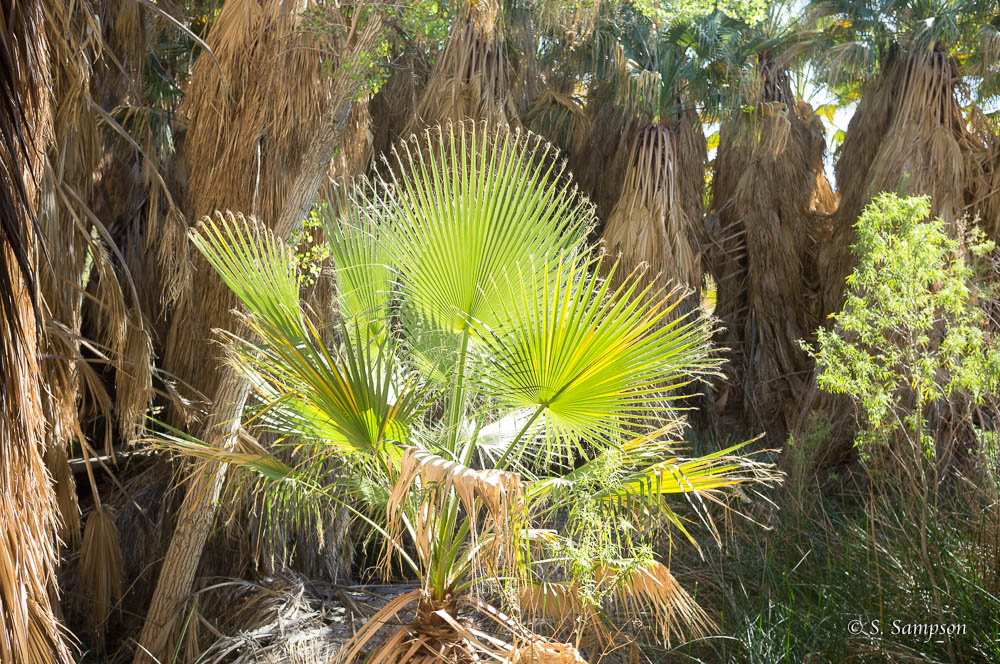 California Fan Palm  in the desert