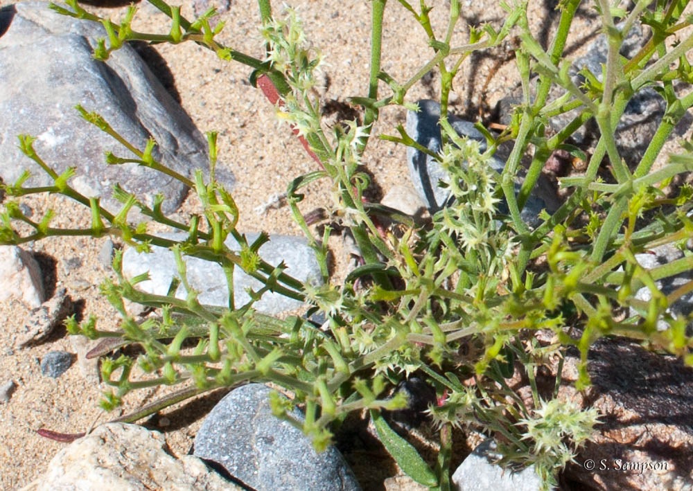 Curvenut Combseed in the desert