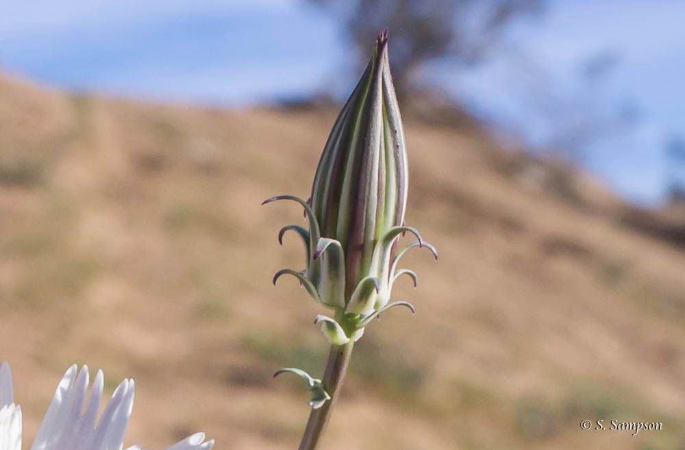 Desert Chicory in the desert
