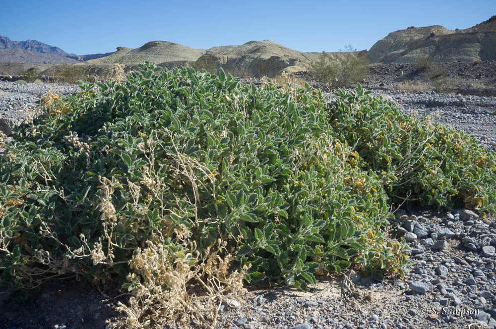 Desert Rock Nettle in the desert