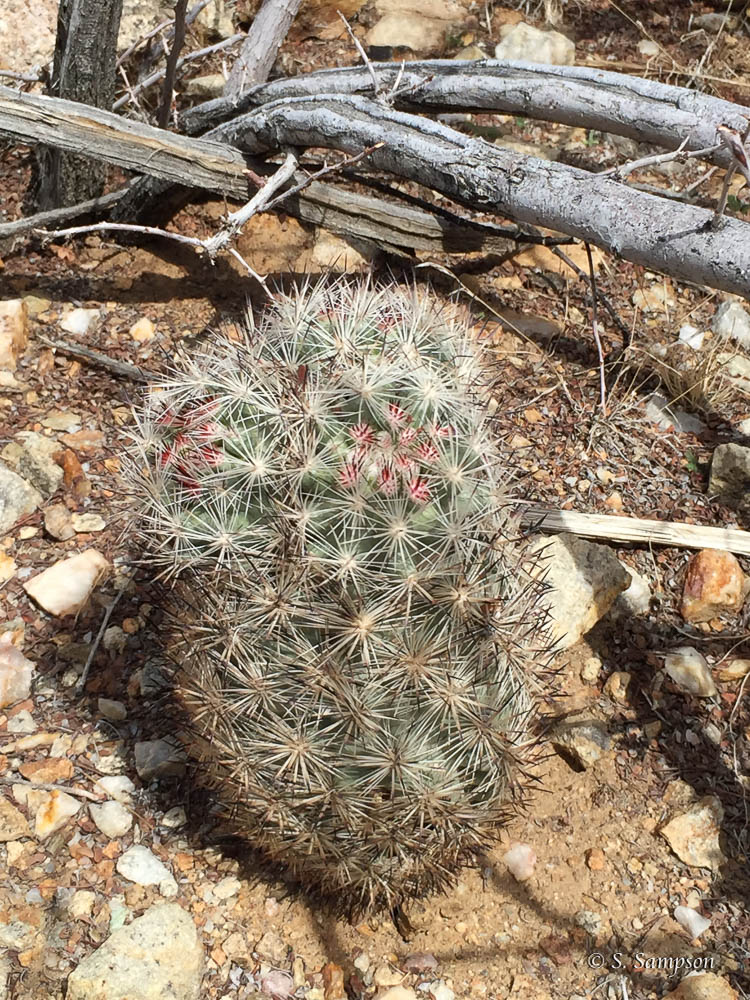 Foxtail Cactus in the desert