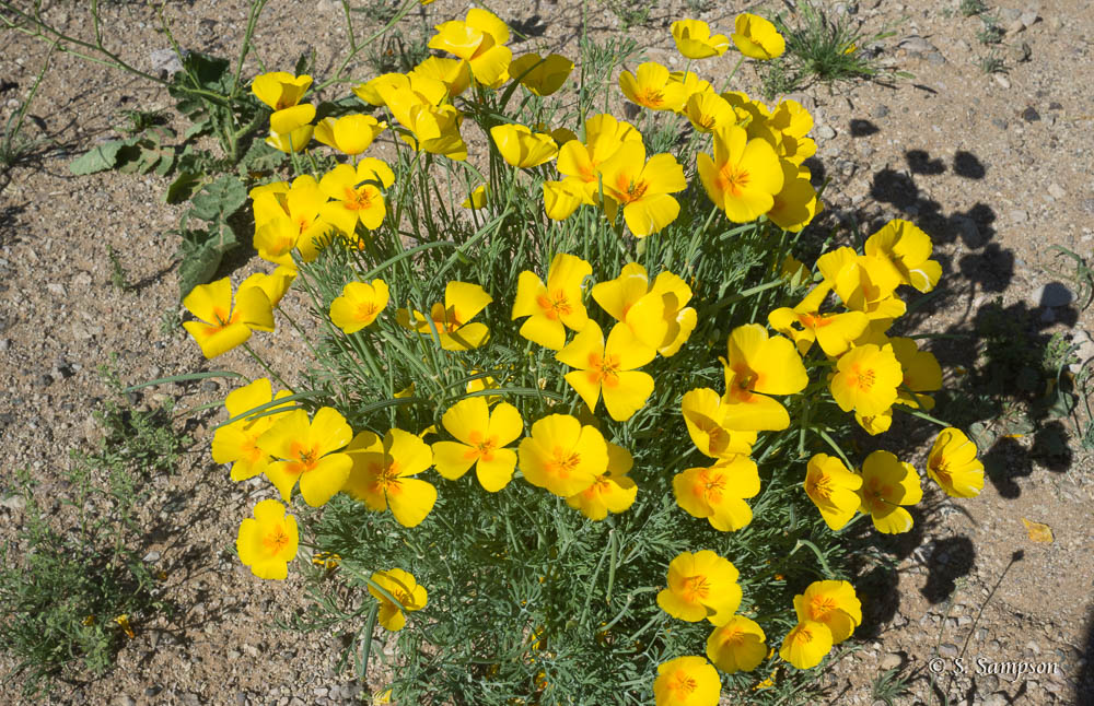 Mexican Poppies in the desert