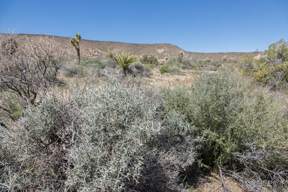 Mojave Cottonthorn in the desert