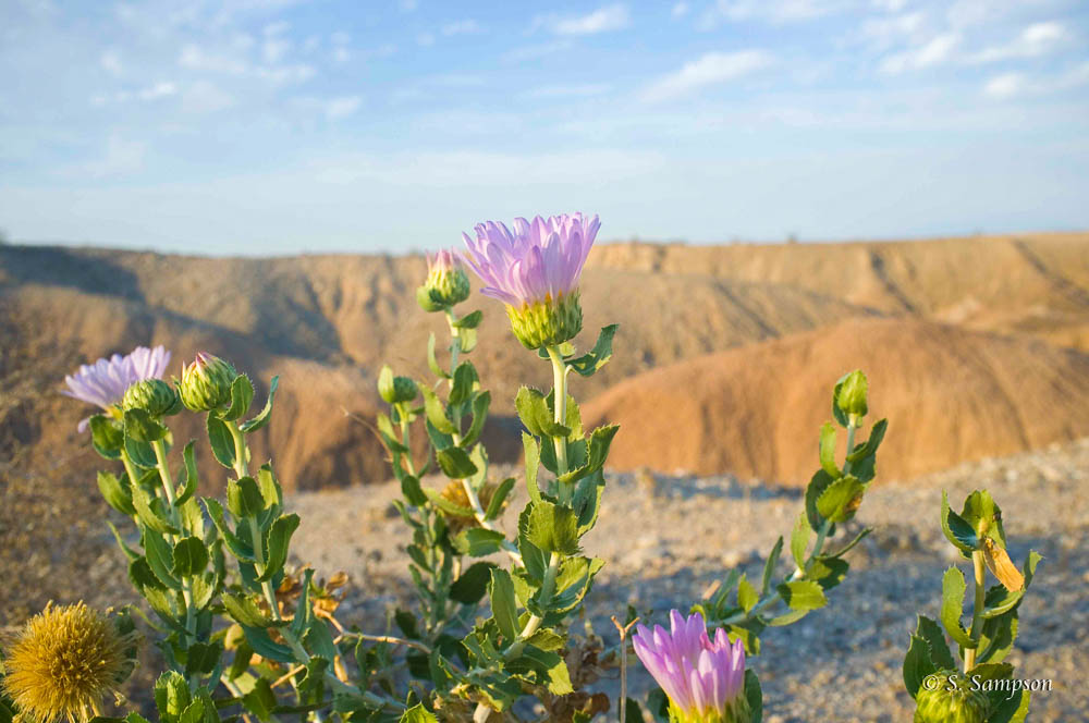 Orcutt's Woody Aster in the desert