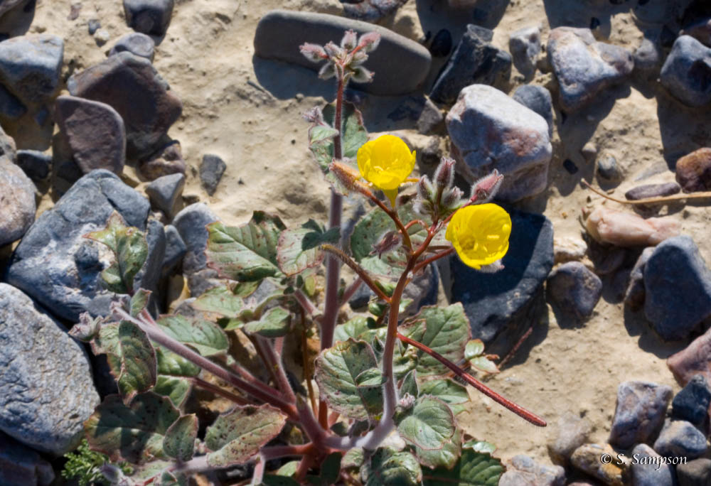 Pale Yellow Cups in the desert
