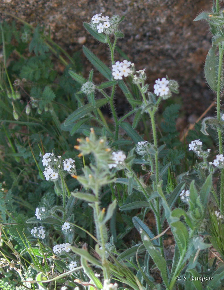 Bearded Cryptantha in the desert