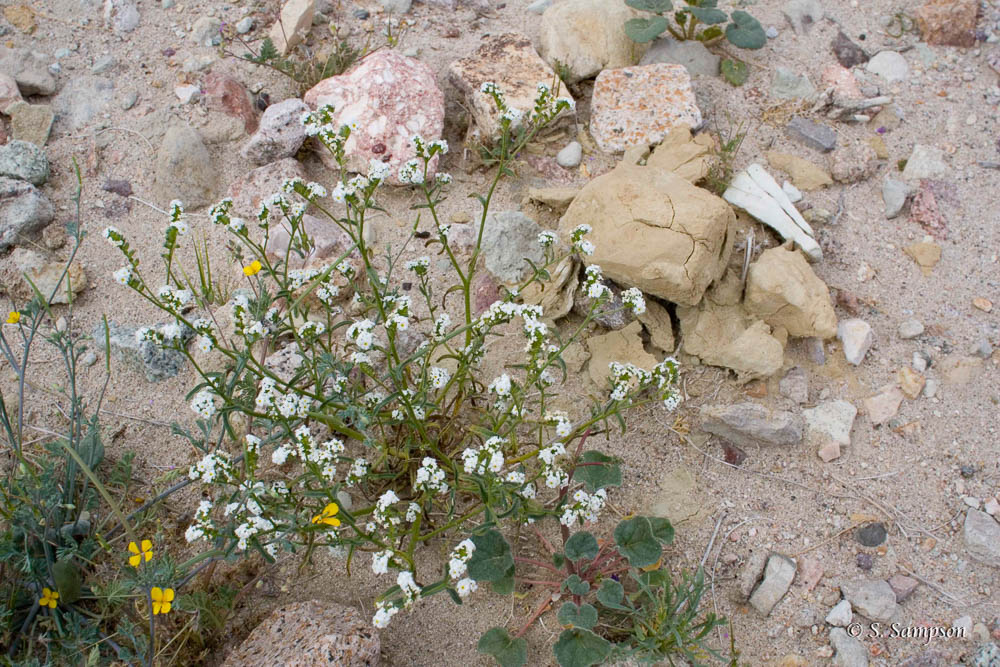 Scented Cryptantha in the desert