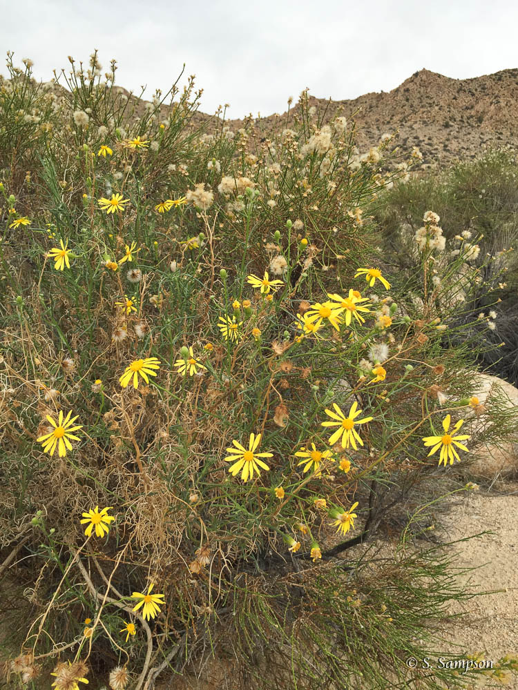 Shrubby Ragwort in the desert