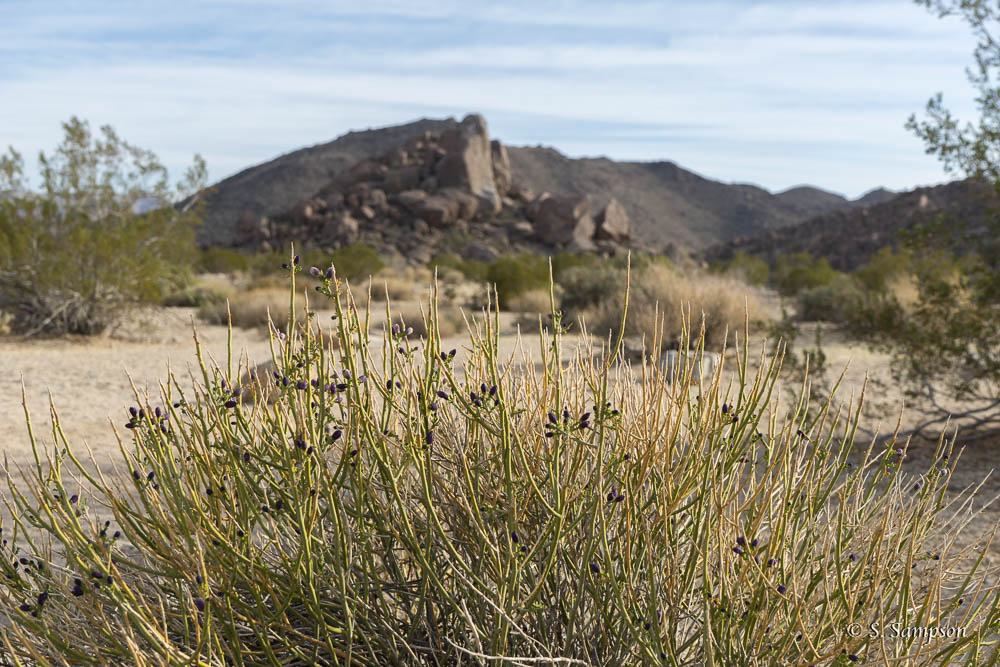 Turpentine Broom in the desert