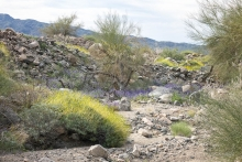 Wash with Notch Leaved Phacelia and Brittlebush near Cactus City