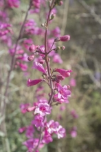 Parry's Beardtongue, pretty in pink