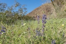 Coulter's Lupine at the mouth of Cottonwood Canyon, Joshua Tree