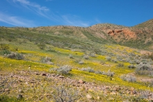 Goldfields at Red Rock Canyon State Park
