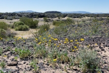 Hairy Desert Sunflower with Amboy Crater in background
