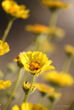 Acton Encelia wildflower in the desert