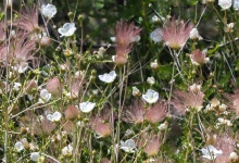 Apache Plume wildflower in the desert