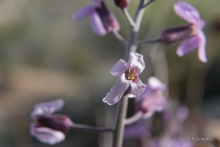 Beautiful Rockcress wildflower in the desert
