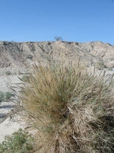 Big Galleta grass in the desert