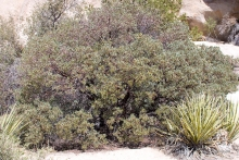 Bigberry Manzanita shrub in the desert
