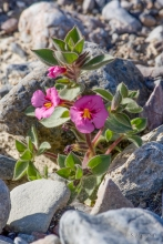 Bigelow's Monkeyflower wildflower in the desert