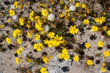 Bigelow's Tickseed wildflower in the desert