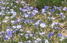 Broad Flowered Gilia wildflower in the desert