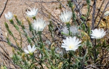 California Chicory wildflower in the desert