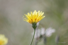 California Dandelion wildflower in the desert