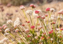 California Interior Buckwheat in the desert