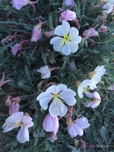 California Evening Primrose wildflower in the desert