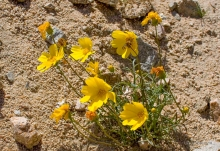 California Tickseed wildflower in the desert