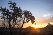 Chainfruit Cholla in the desert