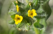 Checker Fiddleneck wildflower in the desert