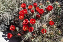 Claret Cup Cactus plant in the desert