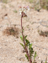 Clavate Fruited Primrose wildflower in the desert
