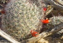 Common Fish hook Cactus plant in the desert