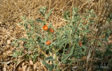 Copper Globemallow wildflower in the desert