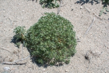 Cushion Cryptantha wildflower in the desert