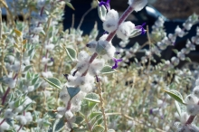 Death Valley Sage shrub in the desert