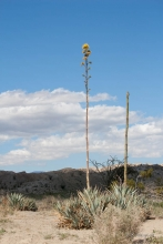 Desert Agave plant in the Anza Borrego desert