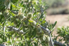 Desert Almond shrub in the Mojave