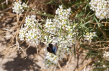 Desert Alyssum wildflower in the Mojave