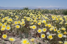 Desert Dandelion wildflower in the Mojave